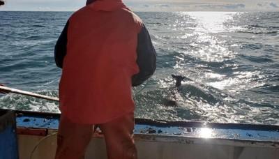 漁夫出海捕龍蝦 竟然捕到小鹿