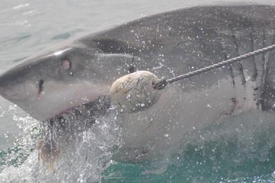 澳洲鯊魚逼近泳客被無人機拍下 驚險脫困