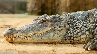 想吃嫩肉!鱷魚反被「戳爆眼球」 11歲女童跳上背把牠眼睛戳瞎了