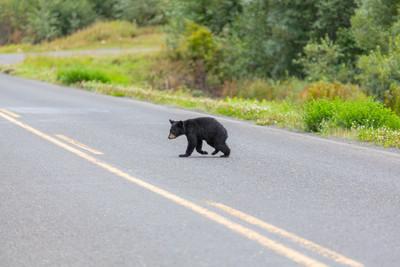 小熊倒在路中 她心碎目睹熊媽救兒
