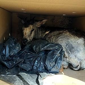保育類長鬃山羊染疥癬亡