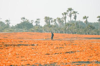 徜徉橘色海洋中!濟州島秋季限定美景