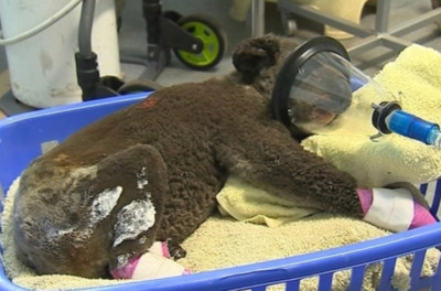 澳野火狂燒上萬公頃 無尾熊成最慘犧牲者…350隻變焦屍