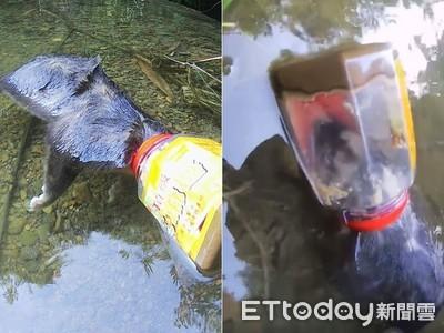 溯溪見鼬獾「頭卡芝麻醬罐」窒息