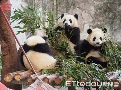 最新數據:全球圈養大貓熊達600隻