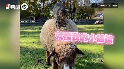 喵被農場收編 綿羊背上療癒踏踏