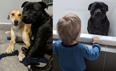 比特犬每晚消失 媽收到照片傻眼