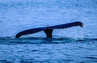 好奇鯨魚游向衝浪客 抬頭噴水擺尾打招呼