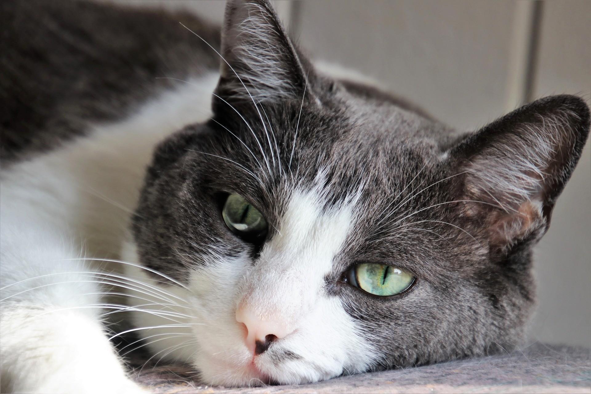 ▲貓咪,貓星人,喵,難過,悲傷。(圖/取自免費圖庫Pixabay)