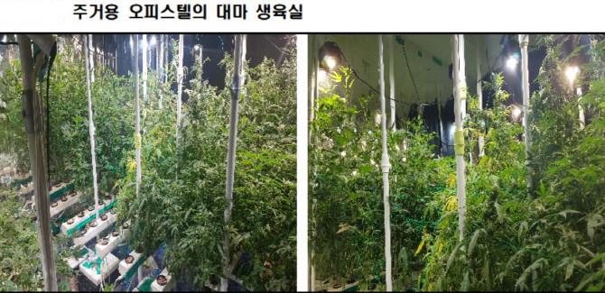 ▲▼南韓檢方去年破獲毒犯在租用的住商套房種植大麻(圖/番社自大檢察廳)