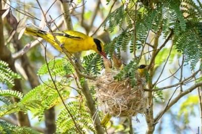 「黃鸝」築巢育雛 歸仁警護鳥成功