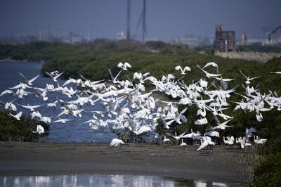 台南七股621隻黑面琵鷺歷年最高
