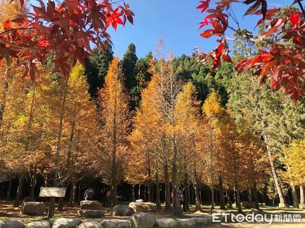杉林溪秋日限定美景 楓葉轉紅、金黃水杉林預計11月最美