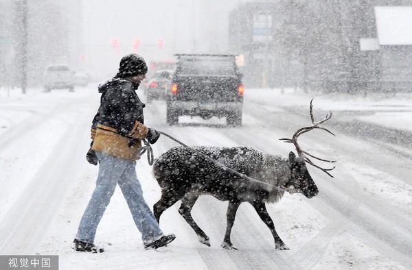 ▲▼2013年11月10日,美國阿拉斯加州安克拉治一名男子牽著馴鹿在風雪中行走。(圖/CFP)