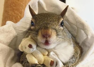 松鼠抱泰迪熊才睡得著 網被萌哭