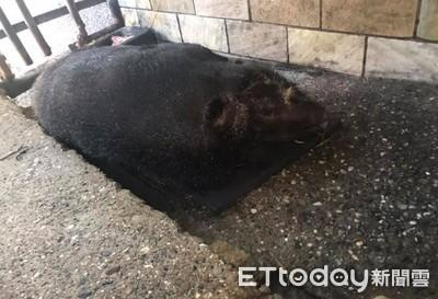 準備幫牠洗澡 驚見20年大豬離世