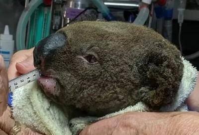 澳洲大火燙得無尾熊「整頭Q毛」 婦女霸氣飛奔抱出 小身軀還在冒煙