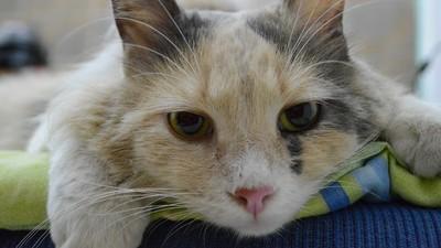 貓皇得「慢性腎病」恐與牙周病有關! 獸醫:多喝水才治本