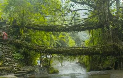 活的橋!印度樹橋會「自行生長」