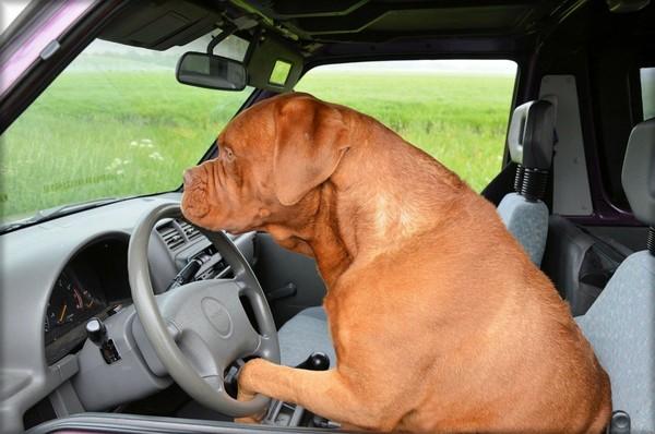 ▲▼開車,狗狗,萌犬,犬,汪星人。(圖/翻攝自Pixabay免費圖庫)