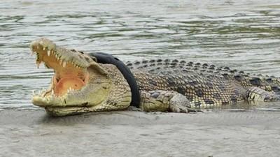 「廢輪胎緊勒脖子」趴岸邊喘氣!動保員營救瀕危鱷魚失敗:牠恐怕要死了