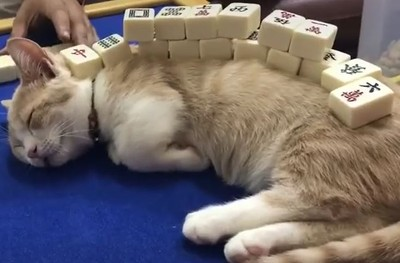 貓奴疊「麻將山」!喵驚:聽牌了