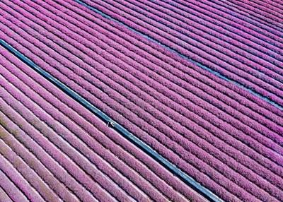 一整片5公頃紫色花毯