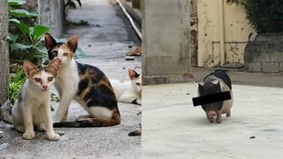 誘捕浪貓不成抓到豬 志工傻眼:比貓還愛翹屁磨蹭