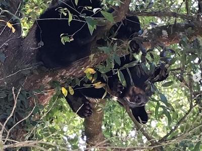 關籠老虎霸氣外露 小熊受驚攀樹受困5天