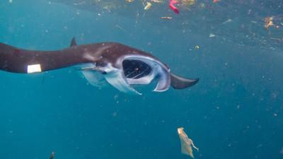 每小時吞137片塑膠!夢幻鯨鯊、鬼蝠魟「活在惡臭地獄」邊游邊狂吐垃圾