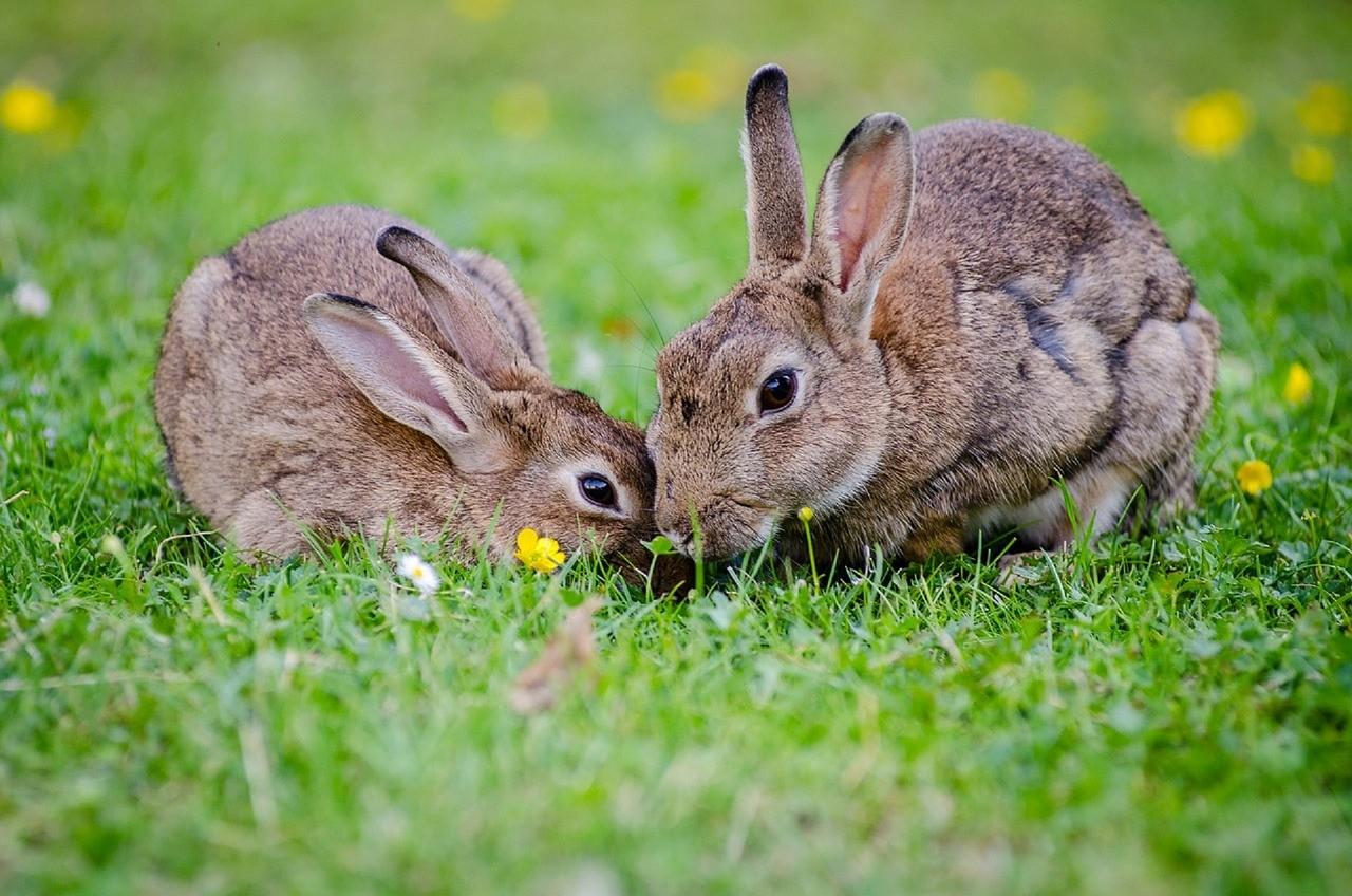 ▲▼兔子,野兔,兔。(圖/取自免費圖庫Pixabay)