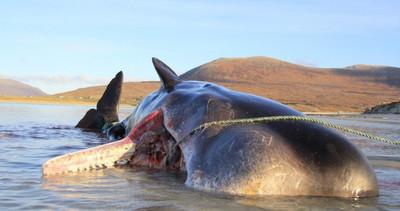 抹香鯨擱淺海灘 胃裡塞滿100公斤垃圾球