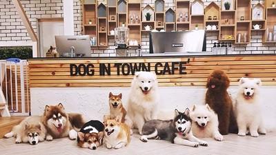 哈士奇、薩摩耶、柯基任你抱!曼谷必遊狗狗咖啡廳 300泰銖吸汪吸到飽