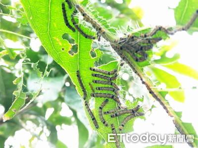 蟲蟲入侵 宜蘭五十二甲溼地「樹上煙火」遭啃光