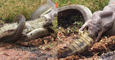 巨蟒生吞鱷魚 X光直擊恐怖分解