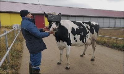 靠幻想產奶!「戴上VR」乳牛狂噴乳汁  酪農大笑:牠們不會焦慮了