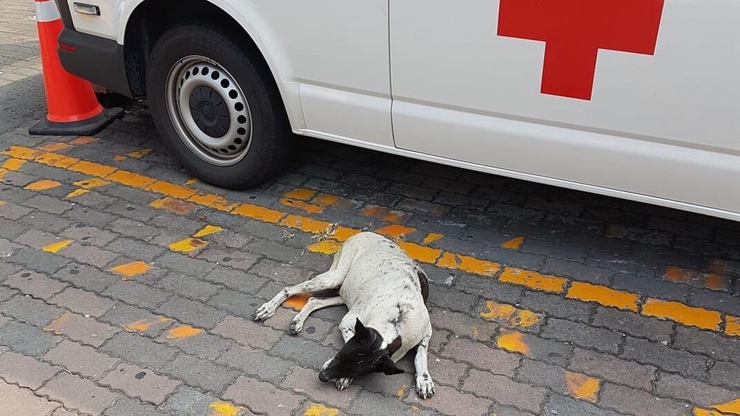 阿嬤送院太擔心! 忠犬小花趴急診外「不吃不喝」惹護理師來秀秀