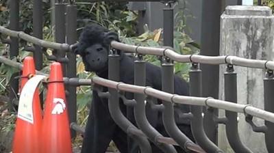 黑猩猩大逃亡!50人驚恐圍捕...竟是工讀生