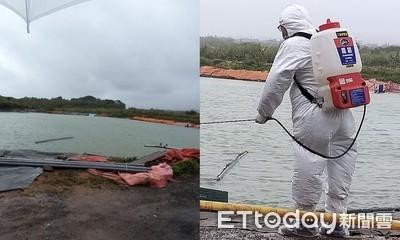 新北三芝澳洲龍蝦感染「螯蝦瘟」