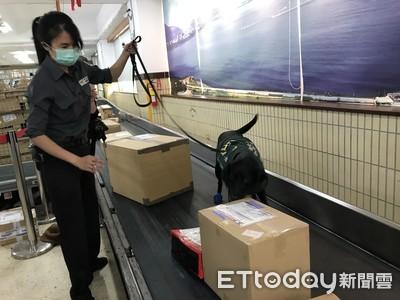 非洲豬瘟「地雷郵包」秋節暴增8倍