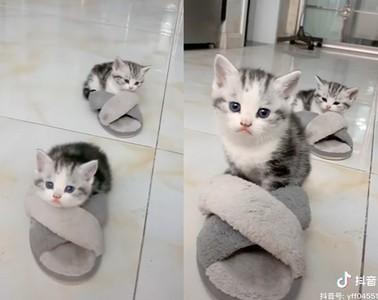 2幼貓霸佔奴才拖鞋 取暖當貓窩