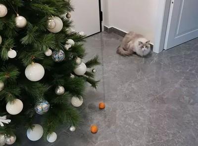 聖誕樹下擺橘子結界 貓不敢接近