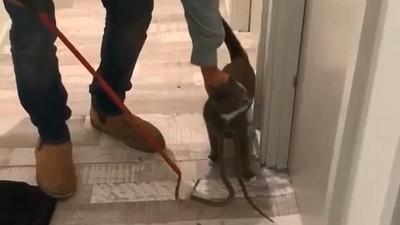 貓脖纏怪異領帶 世界第二毒險奪命