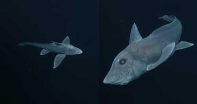 生殖器長頭上!「鬼鯊」真面目曝光