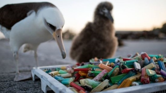海鳥把打火機全吃下肚! 學者調查發現有「14%打火機來自台灣」