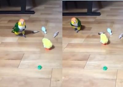 膽小鸚鵡見電動黃鳥逼近 嚇到碎步倒彈