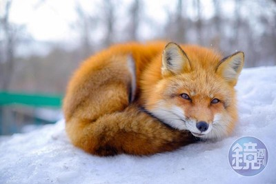 圖/療癒「藏王狐狸」卡哇伊