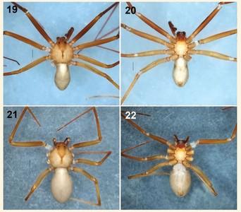 新品種劇毒蜘蛛咬一口「人肉就腐爛」!