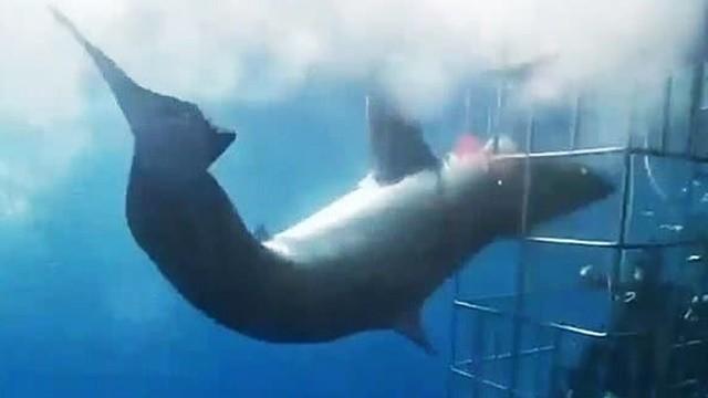 囚禁旅客引誘鯊魚!鯊魚暴衝「頭卡鐵籠掙扎狂扭」 皮肉綻開慘死墜海底