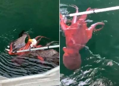 白頭海鵰險被章魚觸手死纏拖下水!
